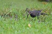 Blackbird capturing an Alpine newt - France