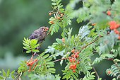 Blackbird eating Sorb berries in summer - France