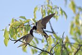Barn swallow feeding her young on a branch - France