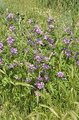 Common Mallow in bloom - France