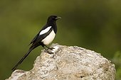 European Magpie on a rock - Spain