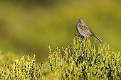 Dunnock on bush - Guadarrama Spain