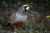 Red-legged Partridge on ground - Dombes France