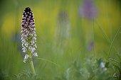 Orchis brûlé en fleurs au printemps - France