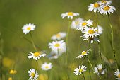 Oxeyedaisy in bloom in spring - France