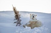 Polar bear and young on the tundra - Hudson Bay Canada
