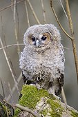 Young Tawny Owl on a stump - France