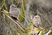 Young Tawny Owls on a stump - France