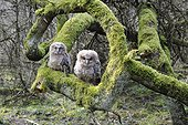 Young Tawny Owls on a branch - France