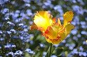 Tulipe papillon en fleur dans un massif de Myosotis - France