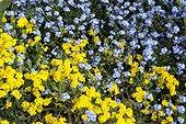 Alysse corbeille d'or et Myosotis en fleurs au printemps