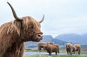 Highland cow on the road between Elgon and Torrin - Isle of Skye ; Cows, liberty, rest on the road when it rains a lot.