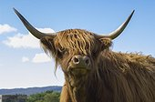 Portrait of Cow Highland - Highland Duirinish Scotland