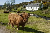 Cow Highland and house - Highland Duirinish Scotland