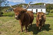 Cows Highland and house - Highland Duirinish Scotland