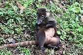 White-nosed Coati female scratching on ground - Costa Rica