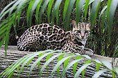 Ocelot lying on a trunk - Costa Rica
