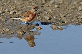 Eurasian Linnet male at the waterfront - France