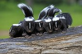 Young Striped Skunks on a trunk - Minnesota