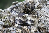 Young Raccoons in a hollow trunk - Minnesota USA