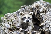 Young Raccoon in a hollow trunk - Minnesota USA