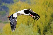 White Stork in flight with nesting material - Alsace France