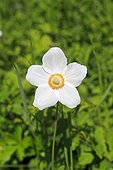 Snowdrop Anemone in bloom in spring - Alsace France