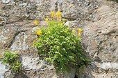 Corydale jaune en fleur sur un mur - Alsace France