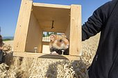 Hamsters reintroduction - Alsace France ; as part of an EU directive under the aegis of the ONCFS (National Office for Hunting and Wildlife) with the help of the Hamsters breeding association Saving Wildlife and Central Reintroduction of Hunawihr