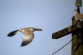 Collared dove in flight - WarwickshireBritain