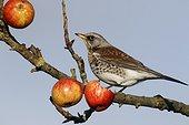 Fieldfare on apples in tree - WarwickshireBritain