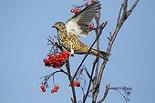 Mistle thrush on Rowan berries - Warwickshire Britain