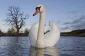 Mute swan on water- Warwickshire Britain