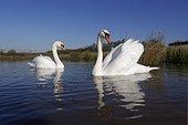 Mute swans on water- Warwickshire Britain