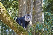 Dominant male Lion-tailed Macaque - Nilgiris Hills India ; Anaimalai Mountain Range