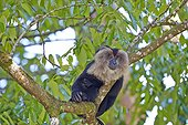 Male Lion-tailed Macaque at rest - Nilgiris Hills India ; Anaimalai Mountain Range