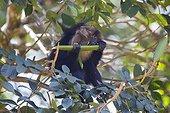 Male Lion-tailed Macaque eating fruit - Nilgiris Hills India ; Anaimalai Mountain Range