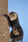 Male Lion-tailed Macaque on trunk - Nilgiris Hills India ; Anaimalai Mountain Range