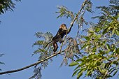 Male Lion-tailed Macaque on a branch - Nilgiris Hills India ; Anaimalai Mountain Range