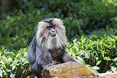 Female Lion-tailed Macaque with young- Nilgiris Hills India ; Anaimalai Mountain Range
