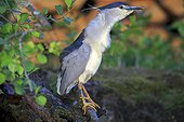 Black Crowned Night Heron fishing on bank - La Dombes France ; Photo from a floating lookout