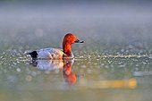 Common Pochard male on the water - La Dombes France ; Photo from a floating lookout