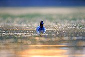 Common Pochard male on water at dawn - La Dombes France ; Photo from a floating lookout