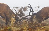 Stags Red Deer fighting in the morning mist in autumn - GB