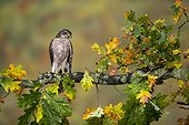 Young Sparrowhawk perched in a tree in autumn - GB