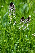 Burnt orchids in bloom in Catalonia - Spain