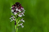Burnt orchid in bloom in Catalonia - Spain