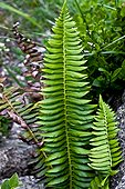 Northern holly fern in Catalonia - Spain