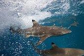 Blacktip Reef Sharks under surf -Solomon Islands ; Marovo Lagoon