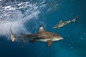Feeding of Blacktip Reef Sharks - Solomon Islands ; Marovo Lagoon